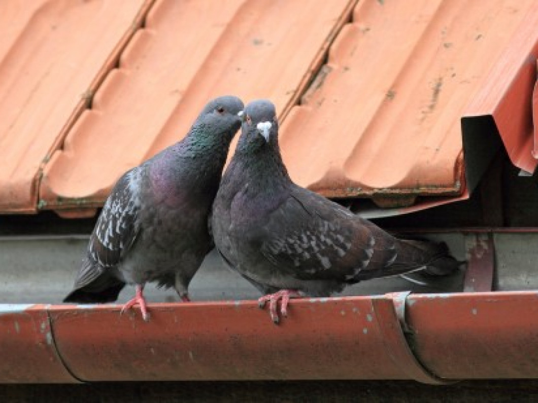 Pigeons (Rock Doves) - $350 per month - a 6 month contract would receive a 10% discount and a 1 year contract would receive a 15% discount.