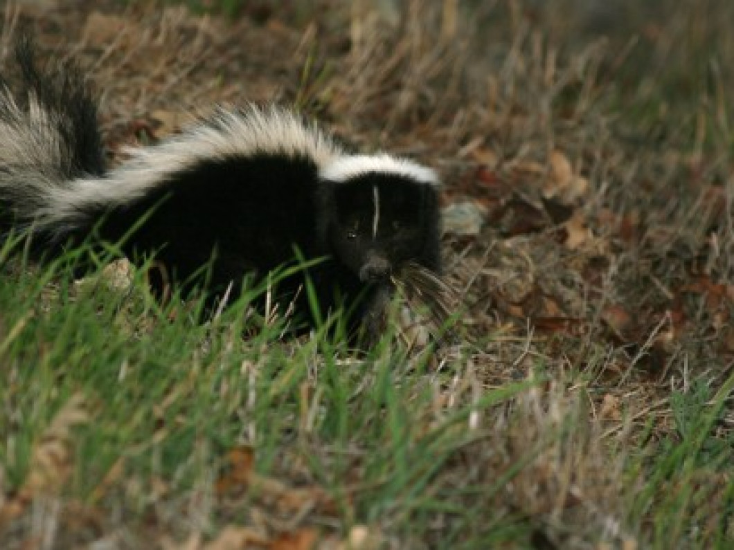 Skunks, Woodchucks, Raccoons, Rabbits and Opossum Removal: $395.00