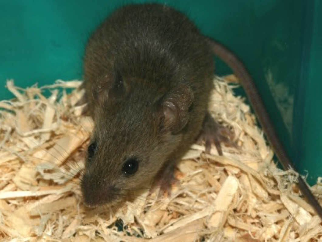 Mice, Moles, Voles and Chipmunk Control (1 month cleanout): $275.00 Annual Service: $500.00