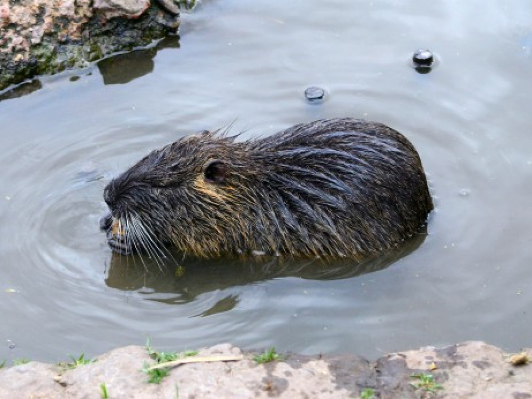 Water and Foothold Trapping Beaver: $600.00 Base (Price covers 10 days of trapping and $60/beaver)