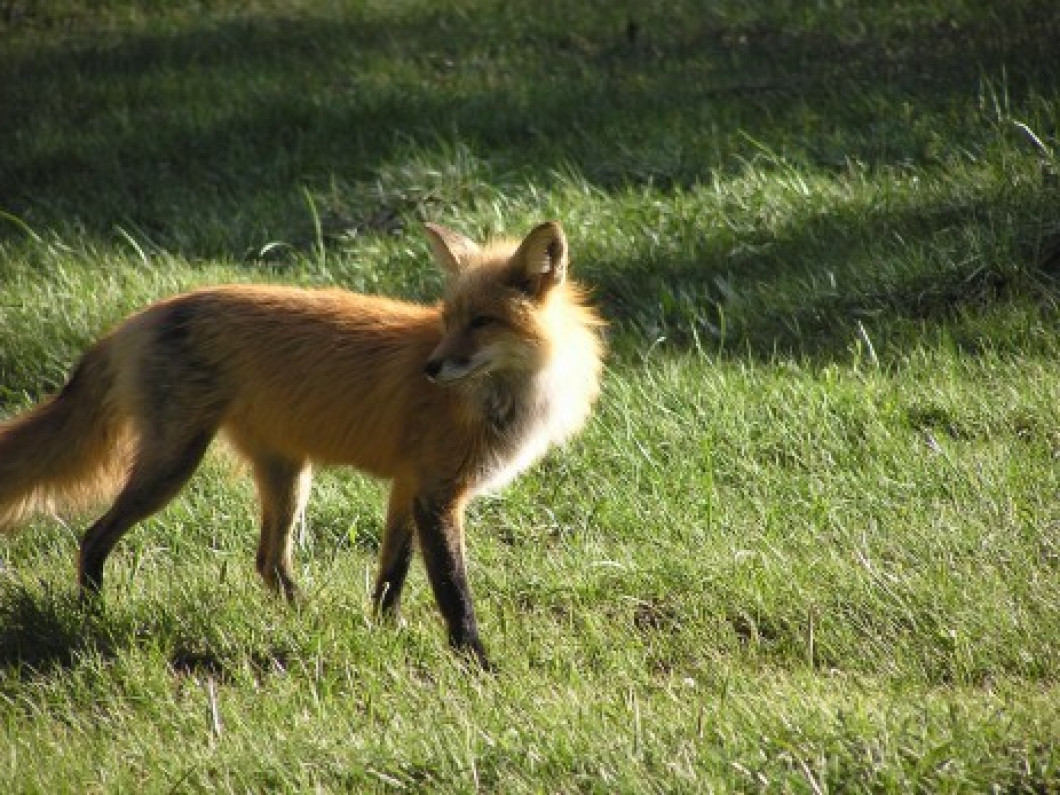 Red and Gray Fox Starting at $395.00 and Coyote Starting at $500.00 (covers 10 days of trapping and $50/fox or coyote)